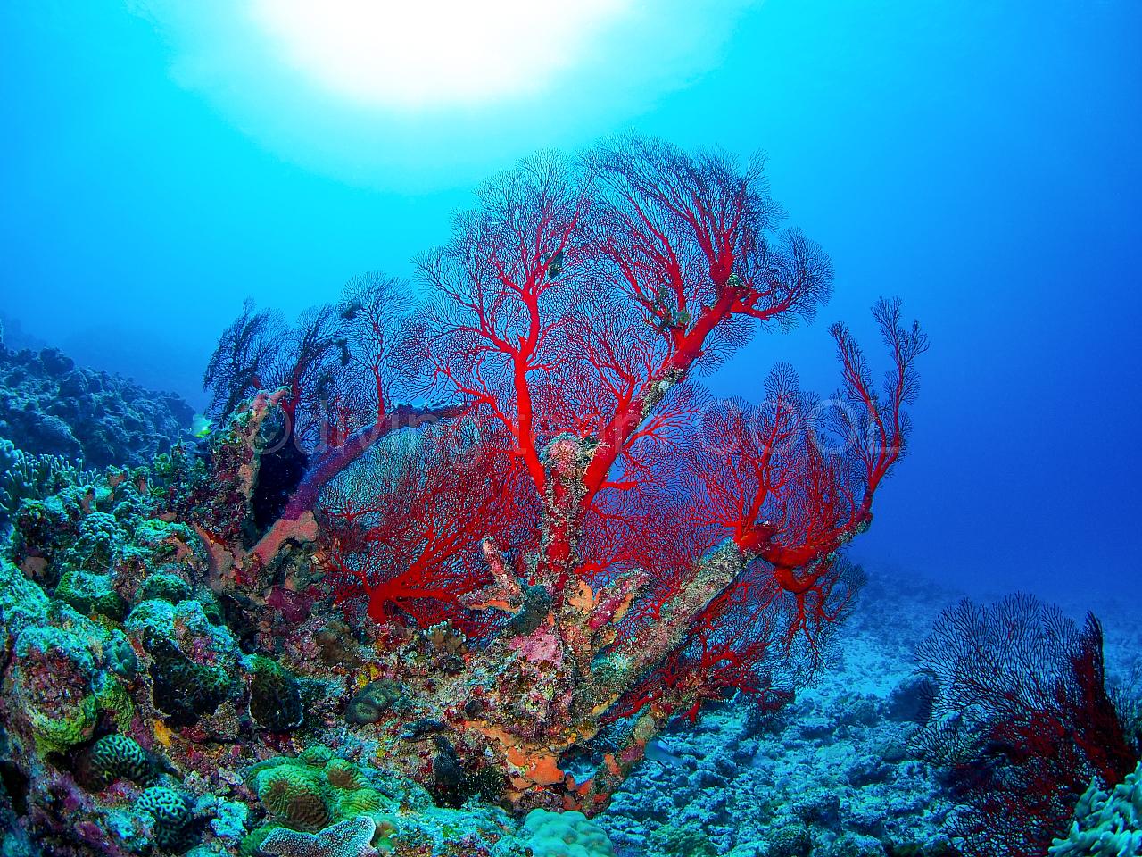 沖縄ダイビング イソバナ