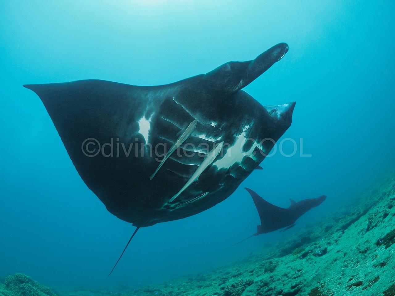 沖縄ダイビング ブラックマンタ