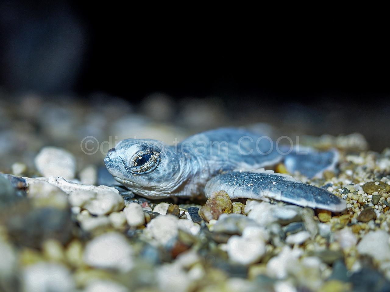 沖縄ダイビング ウミガメの孵化