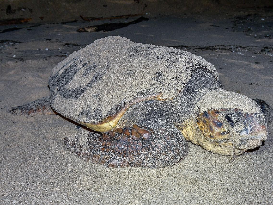 沖縄ダイビング ウミガメの産卵
