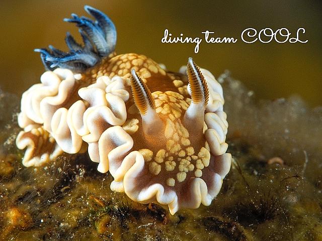 沖縄ダイビング キンゴマイロウミウシ