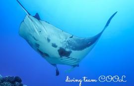 沖縄ダイビング ナンヨウマンタ