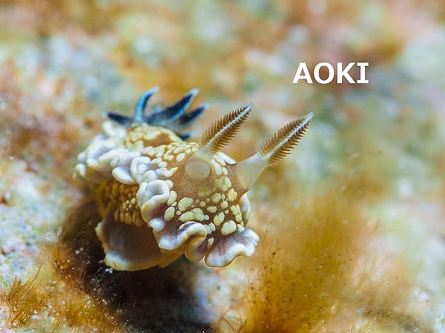 沖縄ダイビング ウミウシ講習