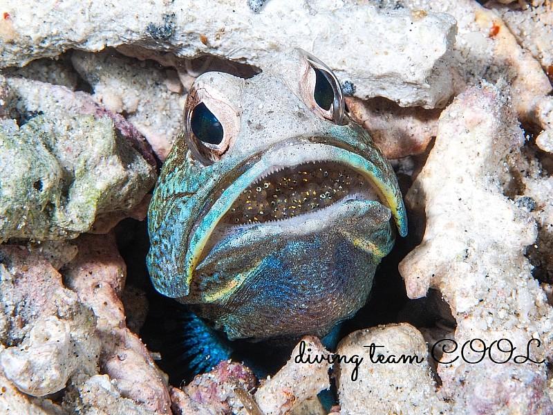 沖縄ダイビング ジョーフィッシュの口内飼育