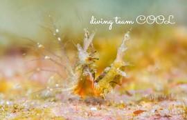 沖縄ダイビング オリヅルエビ