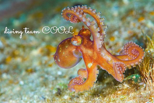 沖縄ダイビング タコの幼体