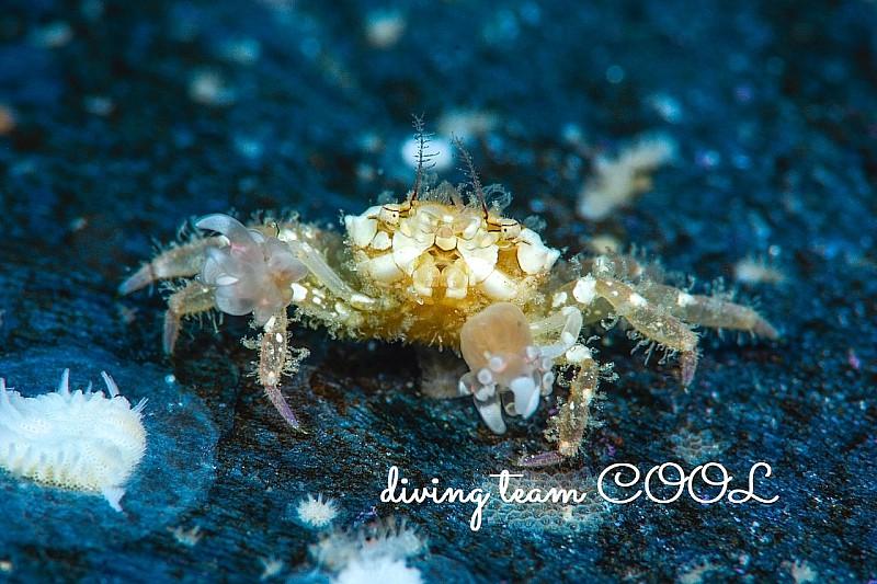 沖縄甲殻類 ヒメキンチャクガニ