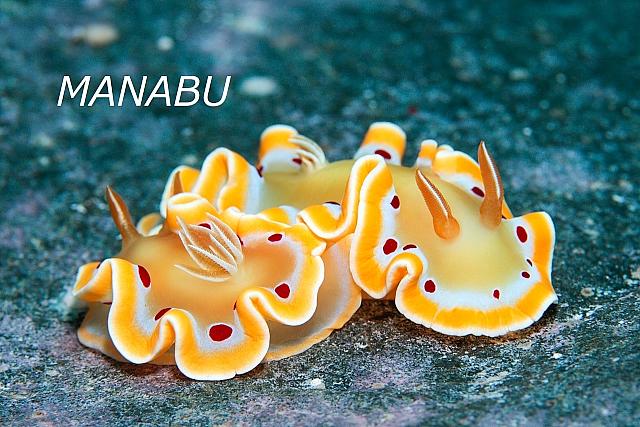 沖縄ウミウシ アカテンイロウミウシ