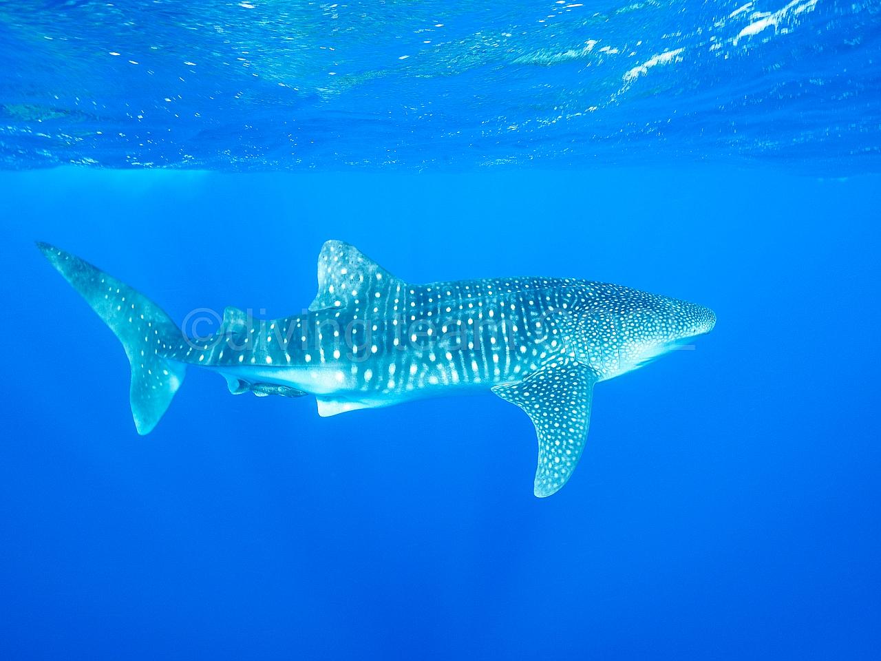 沖縄ダイビング ジンベエザメ