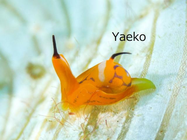 沖縄ウミウシ キマダラウミコチョウ