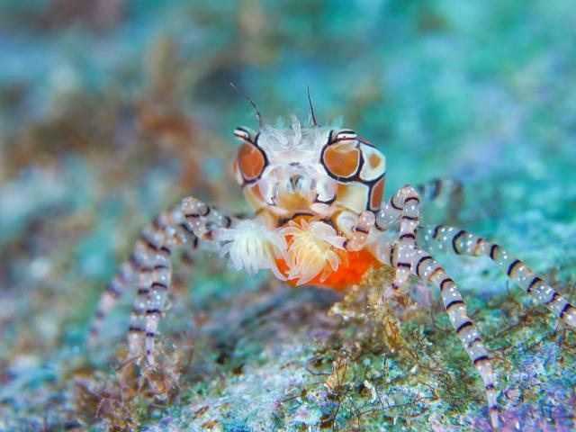 沖縄甲殻類 キンチャクガニ