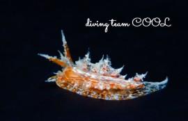 沖縄ダイビング ウミウシ コヤナギウミウシの仲間