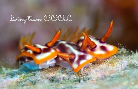 ケラマ諸島 サビウライロウミウシ