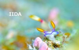 沖縄ウミウシ ゾウゲイロウミウシ