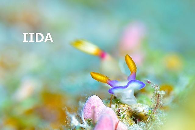沖縄ダイビング ゾウゲイロウミウシ