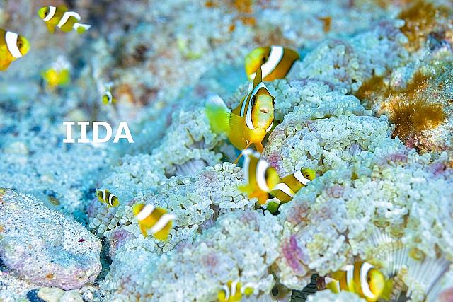 沖縄ダイビング クマノミ
