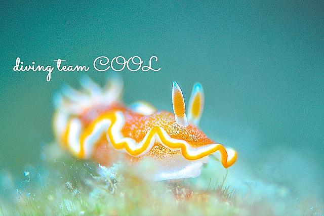 沖縄ウミウシ キャラメルウミウシ