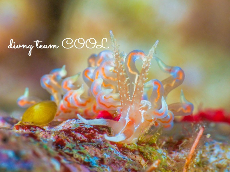 沖縄ウミウシ バラトゲミノウミウシ