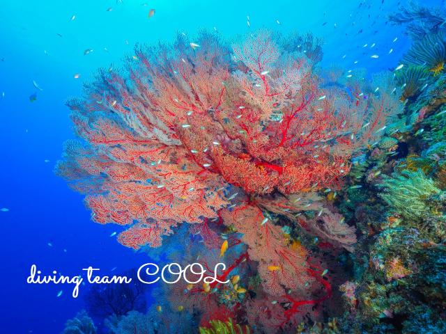 ケラマ諸島 イソバナ