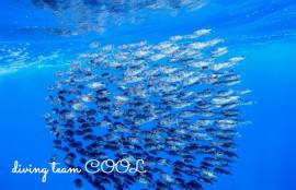 ケラマ諸島 ハリセンボン玉