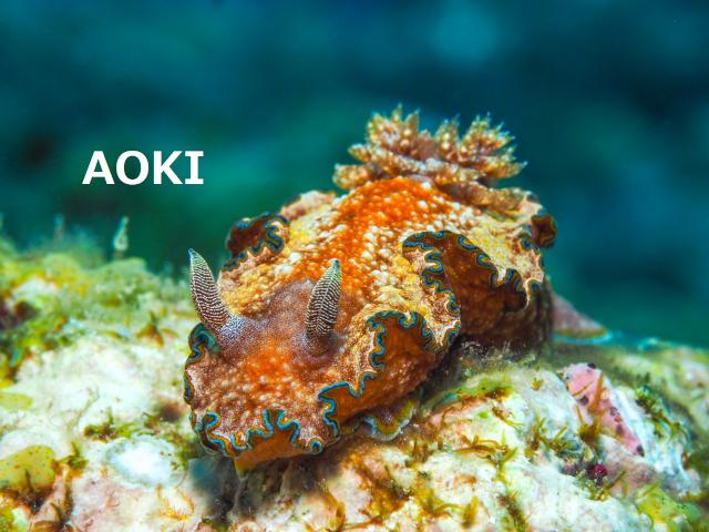 沖縄 モンジャウミウシ