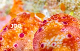 沖縄 ヒャクメウミウシ