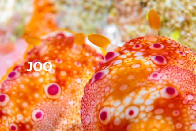 沖縄ウミウシ ヒャクメウミウシ