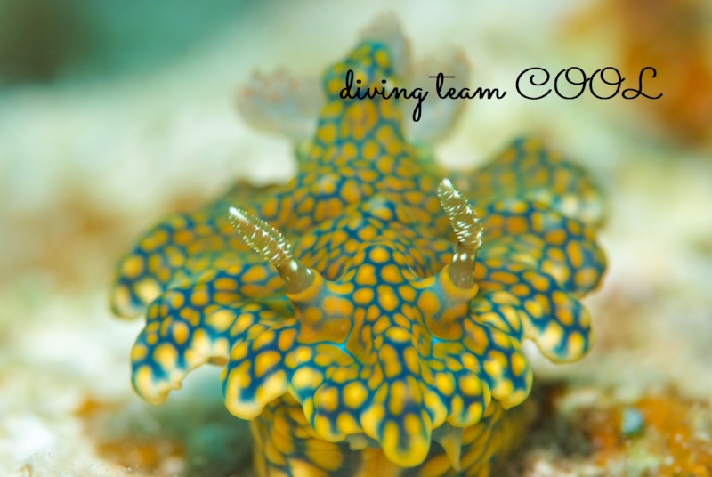 沖縄ウミウシダイビング ヨセナミウミウシ