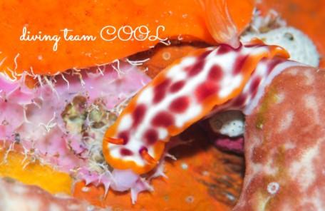 沖縄ダイビングショップ サビウライロウミウシ