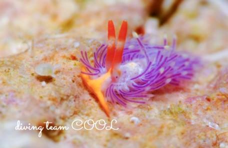 沖縄ダイビング砂辺 ムラサキミノウミウシ