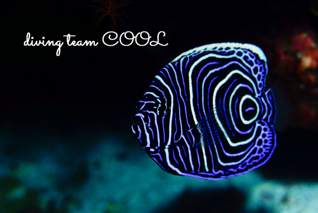 沖縄ダイビングショップ タテジマキンチャクダイ幼魚