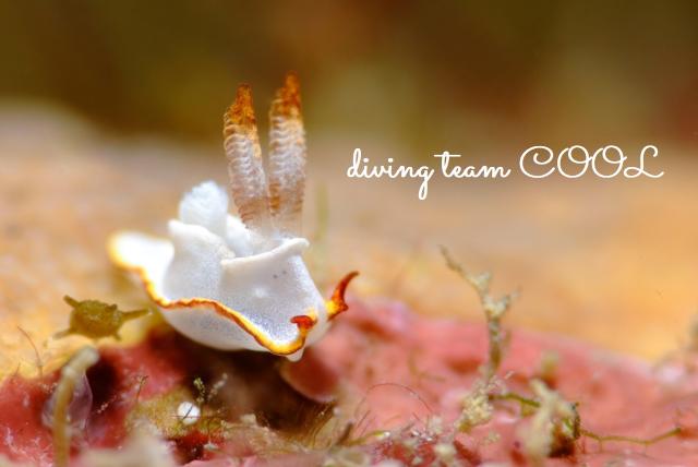 沖縄ダイビング砂辺 ケラマコネコウミウシ