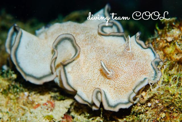 沖縄ダイビング砂辺 タヌキイロウミウシ