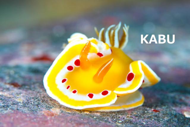 沖縄 アカテンイロウミウシ