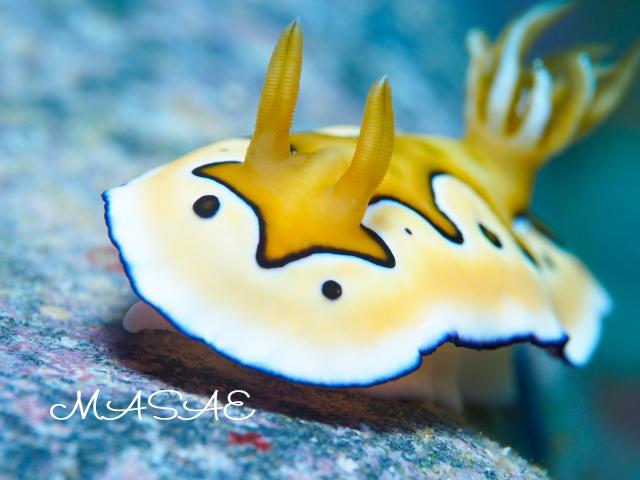 沖縄 シラナミイロウミウシ