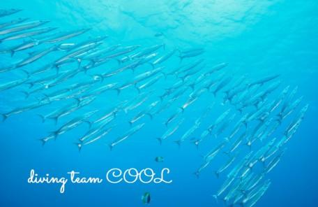 ケラマ諸島 ホソカマスの群れ