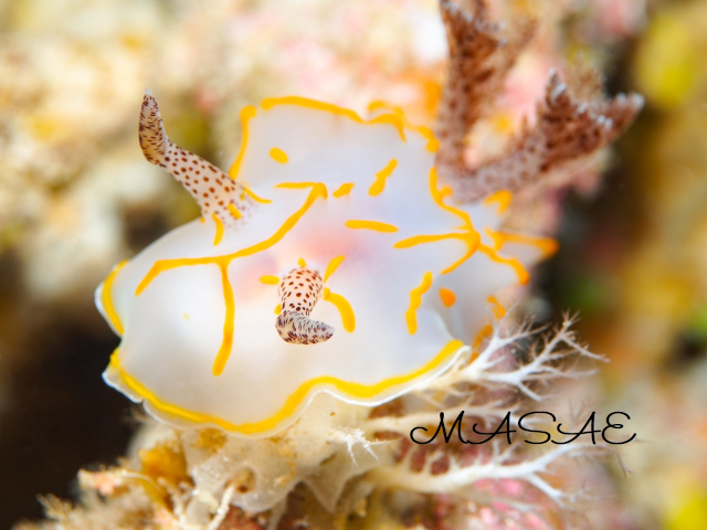 ケラマ諸島 キスジカンテンウミウシ