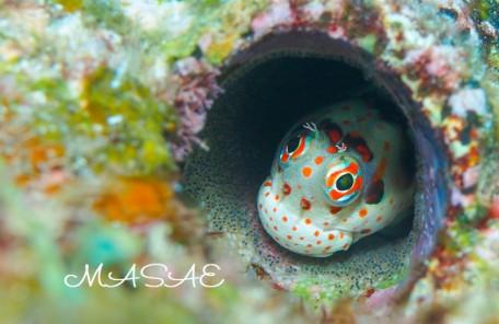 沖縄 モンツキカエルウオの卵
