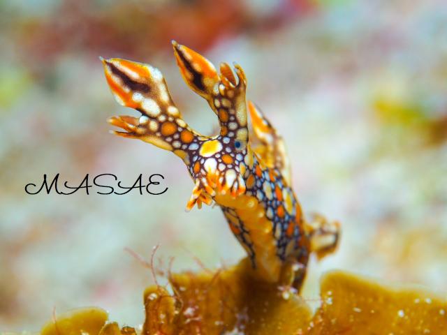 ケラマ諸島 ヒオドシユビウミウシ