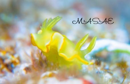 ケラマ諸島 サフランイロウミウシ