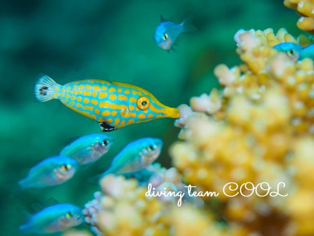 沖縄 テングカワハギの幼魚