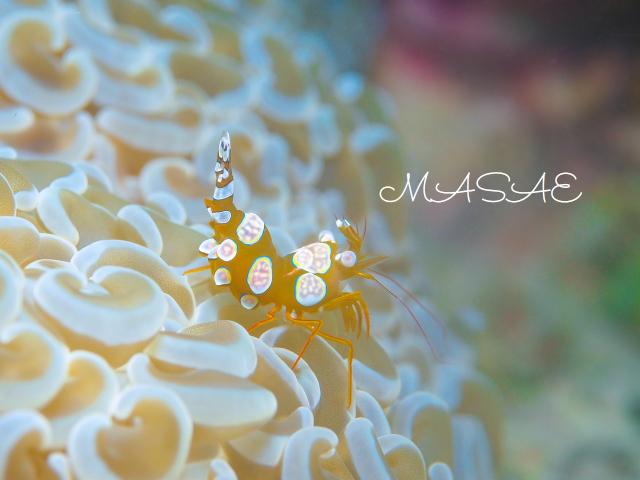 沖縄 イソギンチャクモエビ