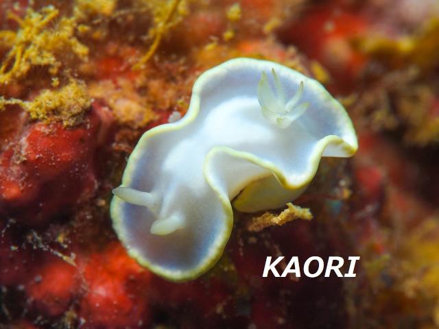 沖縄 シロタエイロウミウシ