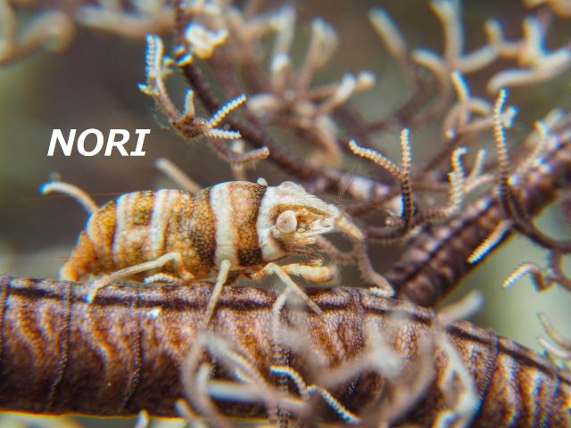沖縄 テヅルモヅルエビ