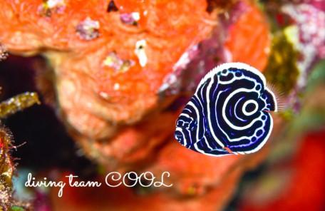 沖縄 タテジマキンチャクダイの幼魚