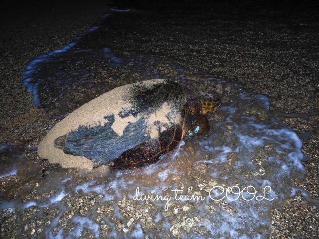 沖縄 アカウミガメの産卵