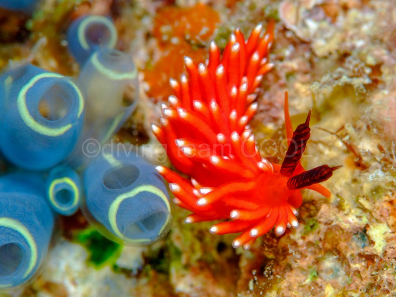 沖縄 クレナイチゴミノウミウシ