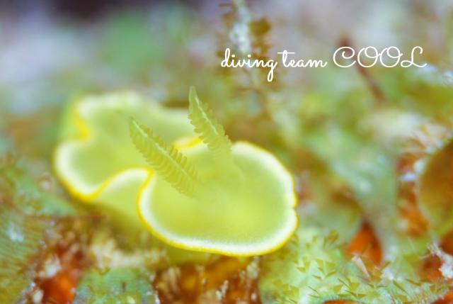 沖縄ダイビングショップ サフランイロウミウシ