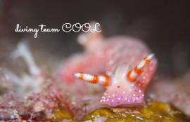 ケラマ諸島体験ダイビング アオウミウシ属の1種5