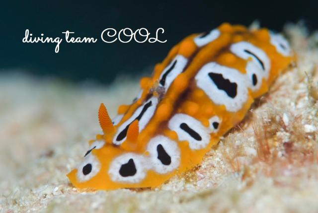沖縄ダイビング水納島 キイロイボウミウシ